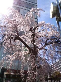 街なかの垂れ桜